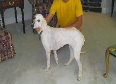 Standard Poodles Ready for Adoption in Pensacola, FL