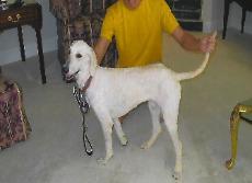 Standard Poodles Ready for Adoption in Pensacola, FL